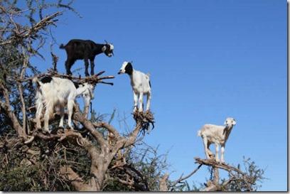 Cabras en las alturas de los montes